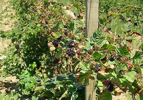 Swanton-vines